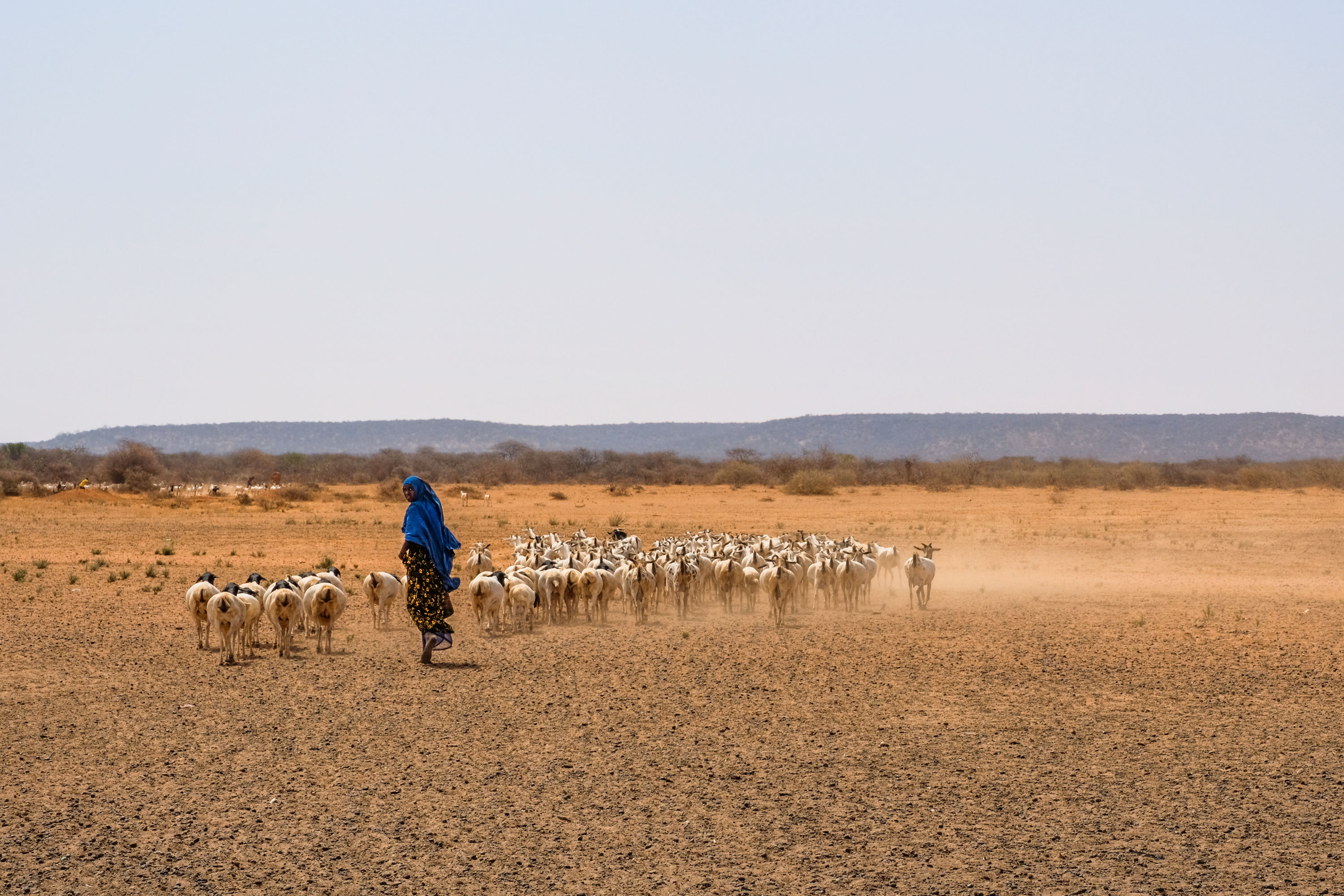 Woman with herd of cattle on steppe-like open field