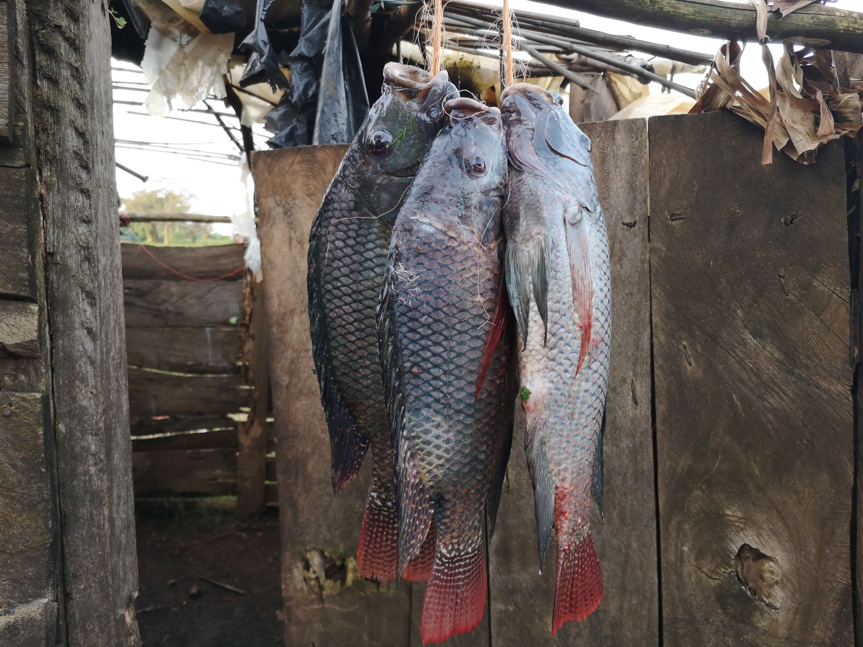 Fish hanging in a wooden hut close to Lake Victoria in Uganda